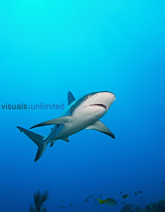 Caribbean reef shark, Carcharhinus perezi, West End, Bahamas, Atlantic Ocean.