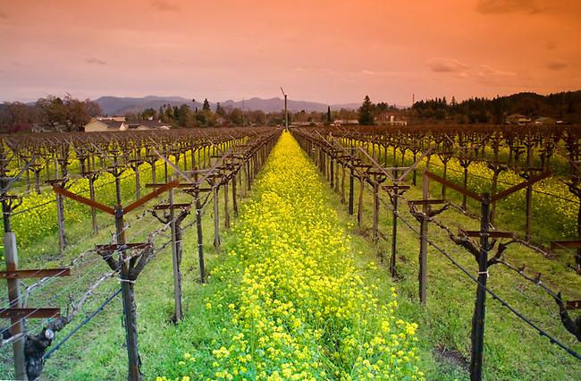 Mustard lines vineyard in St. Helena