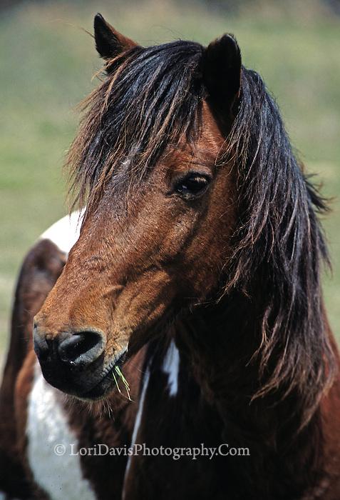 Assateague Stallion Portrait  #W23