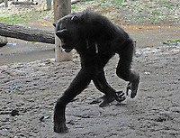 A chimpanzee takes the 100 yen towards a vending machine. Chimpanzees in Tama Zoo in the western suberbs of Tokyo buy soft drinks from a vending machine. The zoo, which is seen as one of Japan's most inovative, has installed a vending machine. The Chimps are given a 100 yen coin which they insert into a vending machine and are given a can of fruit or vegetable juice. The chimps then put the empty can into the waste machine for recycling.