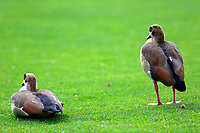 Ducks watching play on 13th hole during the third round of the of the Barclays Kenya Open played at Muthaiga Golf Club, Nairobi,  23-26 March 2017 (Picture Credit / Phil Inglis) 25/03/2017<br /> Picture: Golffile | Phil Inglis<br /> <br /> <br /> All photo usage must carry mandatory copyright credit (© Golffile | Phil Inglis)