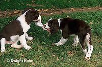 SH22-020z  Dog - English Springer puppies playing
