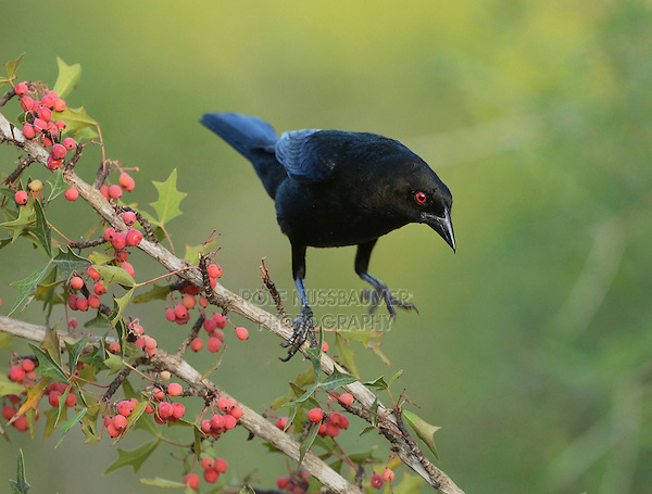Bronzed Cowbird (Molothrus aeneus), adult landing on Agarita (Berberis trifoliolata) with berries, Rio Grande Valley, South Texas, Texas, USA