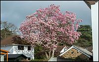 Britain's biggest magnolia tree flowers.