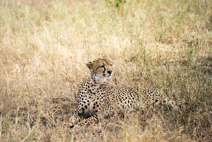 A cheetah camouflaged in the Serengetti plains, Tanzania.