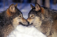 Gray wolf or timber wolves (Canis lupus) greeting.  Winter. Minnesota.