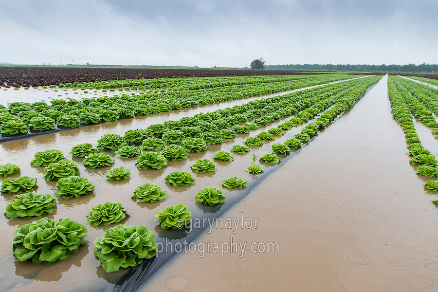 Lettuce crop flooded following heavy rainfall - Lincolnshire, July