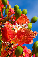 Flamboyant flowers<br /> Virgin Islands