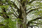 European Beech (Fagus sylvatica), Alps, Italy