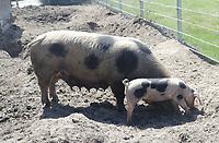 Bentheimer Schwein - Werdum 24.07.2020: Haustierpark Werdum