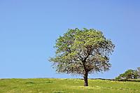 Single Valley Oak on ridge, California, Quercus lobata..Single Valley Oak on ridge, California, Quercus lobata