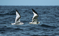 Juvenile Kittiwake and Juvenile Sabine's Gull in flight demonstrating identification differences in flight.