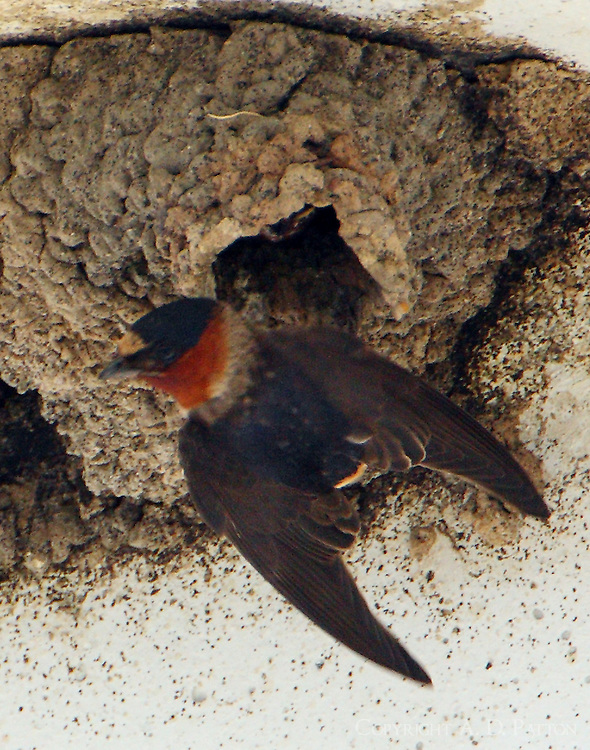 Adult cliff swallow at nest