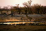 Lions (Panthera leo) fighting in Etosha National Park in Namibia, Africa