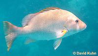 0115-1203  Dog Snapper (Dogtooth Snapper) in Caribbean Reef, Gamefish, Lutjanus jocu  © David Kuhn/Dwight Kuhn Photography