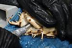 Foto: VidiPhoto<br /> <br /> ARNHEM – Ook haaien moeten naar de dokter. Dat gebeurde maandagmiddag in Burgers' Zoo in Arnhem, waar een Japanse bakerhaai (ook wel wobbegong) een behandeling tegen parasieten kreeg en bloed werd afgenomen. Volgens hoofd van Burgers' Ocean Max Janse, vermagert het dier de laatste weken sterk en eet het nauwelijks meer. Vaak wordt dat veroorzaakt door platwormen achter de kieuwen. In een speciaal bad worden deze dan verwijderd. Om ook andere oorzaken niet uit te sluiten, werd maandag eveneens bloed afgetapt voor nader onderzoek. Om de operatie op het droge te kunnen doen, werd de bakerhaai voor alle zeker aan de (water)beademing gelegd. De wobbegong moest met drie man in bedwang worden gehouden.