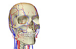 An anterolateral view (right side) of the blood supply of the head and face. Royalty Free