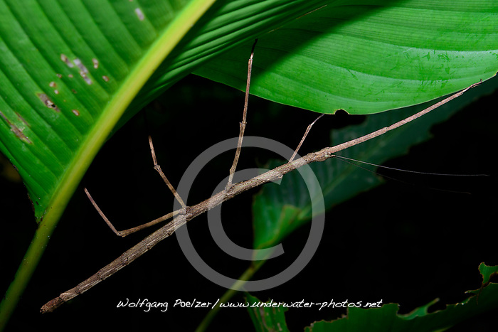 Stabheuschrecke oder Gespenstschrecke (Phobaeticus Sp.), Costa Rica, Carara Nationalpark / Walking Stick Insect (Phobaeticus Sp.), Costa Rica,  Carara National Park