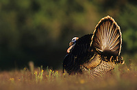 Wild Turkey, Meleagris gallopavo,male displaying, Lake Corpus Christi, Texas, USA, April 2003