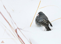 We were photographing a large group of Pronghorn, and returned to our vehicle to warm up a bit.  It was -10F and the wind was howling.  Suddenly we noticed a flurry of activity on the side of the road.  This Dark-eyed Junco, a slate-colored morph, feeding.  Most Juncos in our area flit about quickly while feeding.  They don't stay in one place very long.  This little bird took its time feeding on the seeds.  Custer State Park, The Black Hills, South Dakota.