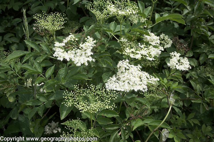 UK, United Kingdom, Great, Britain, British, England, English, east, anglia, anglian, plant, plants, nature, natural, vegetation, ecology, ecosystem, white, flower, flowering, flowers, elderberry, elder, trees, tree, sambucus,  nigra, leaf, leaves, bush, elderflower,