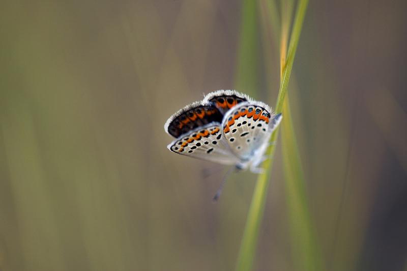 Unidentified  butterfly. Mann Lake. Oregon