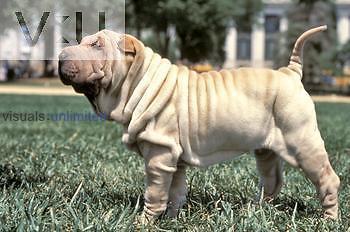 Shar-Pei variety of domestic dog.
