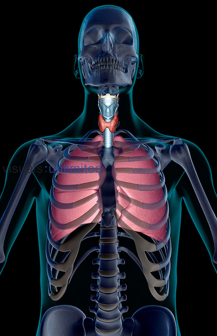 An anterior view of the respiratory system relative to the skeleton. The surface anatomy of the body is transparent and tinted turquoise. Royalty Free