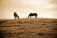 Horses grazing without a care in the Sierra foothills