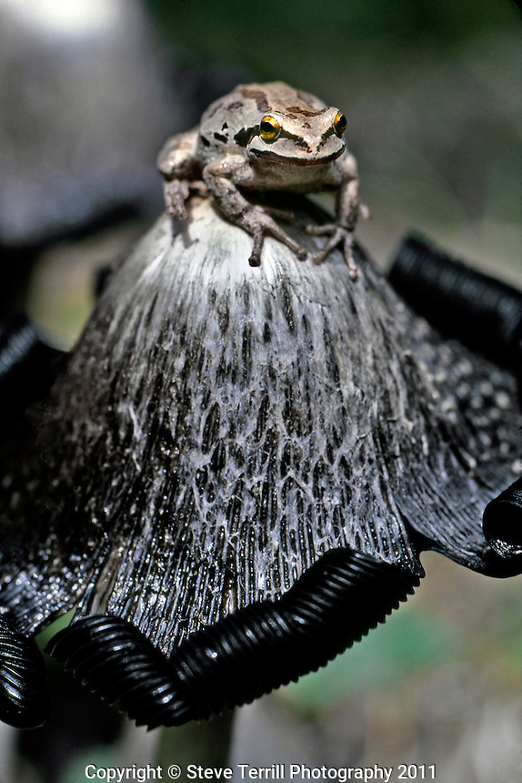 Tree frog on top of shaggy mane mushroom in Mt Hood National Forest Oregon