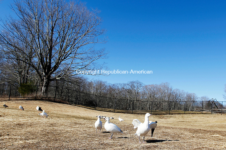 Litchfield, CT-05 February 2012-020512CM08- country life only please. Snow Geese enjoy a morning sun at the Livingston Ripley Waterfowl Conservancy Sunday morning in Litchfield.  Christopher Massa Republican-American
