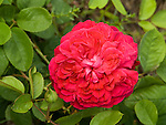 William Shapespeare Rose, Rosa hybrid by David Austin, Modern Shrub