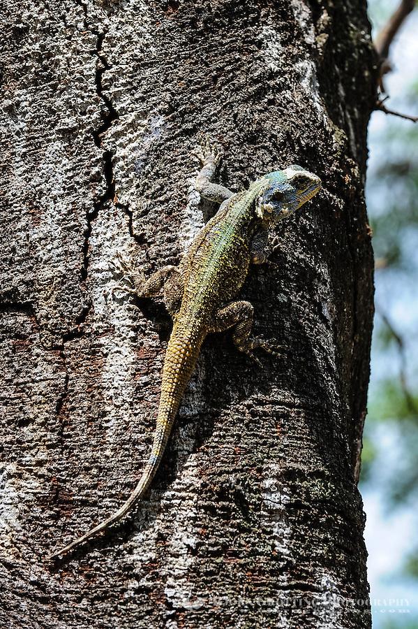 Agama lizard at Skukuza camp, Kruger National Park, South Africa.