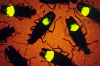 FIREFLIES (LIGHTNING BUGS).Photinus Pyralis. Underside Flashing At Night.A firefly flashes when O2, breathed in through the abdominal tracheae, combines with the substance luciferin under the catalytic effect of the enzyme luciferase. The light is 90-98% efficient.