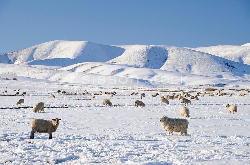 Sheep graze in snow covered paddocks near Wedderburn with the Hawkduns seen behind them. Winter, Central Otago, South Island
