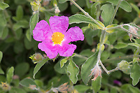 Graubehaarte Zistrose, Graubehaarte Cistrose, Kretische Zistrose, Cistus creticus, Pink Rock-Rose, Hoary Rock-Rose, hairy rockrose, rock rose, rock-rose, Grey-haired Rockrose, Le ciste de Crête, Zistrosen, Cistrosen
