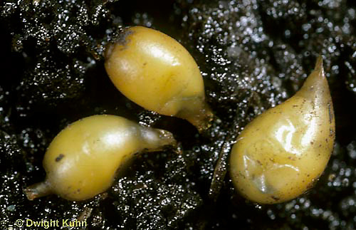 1Y01-058c  Earthworm - cocoons