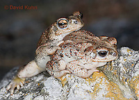 1101-0806  Pair of Adult Red-spotted Toad (Southwestern United States), Anaxyrus punctatus, formerly Bufo punctatus  © David Kuhn/Dwight Kuhn Photography.