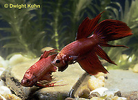BY01-001z  Siamese Fighting Fish - male chasing and biting a rival male - Betta splendens