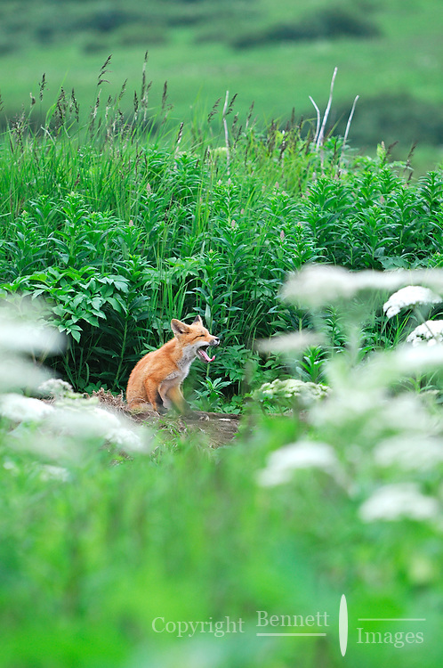 A red fox yawns while sitting on its den in Alaska's McNeil River State Game Sanctuary