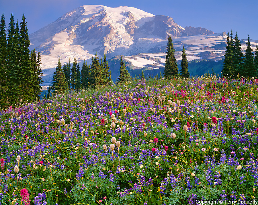 Mount Rainier Natl Park,  WA  <br /> Mount Rainier in morning sun towers over a meadow of alpine wildflowers on Mazama ridge