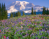 Mount Rainier Natl Park,  WA  <br /> Mount Rainier in morning sun towers over a meadow of alpine wildflowers on Mazama ridge
