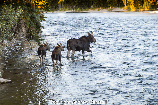 A Cow Moose leads her twin calves across the Snake River near Moose, Wyoming in early fall.