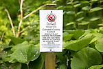 Invasive plant control of Japanese Knotweed, Fallopia japonica, near St Keverne, Cornwall, England, UK