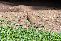 Clay-colored Thrush, Copan, Honduras