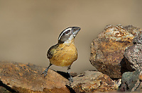 538660010 a wild male black-headed grosbeak pheucticus melanocephalus drinks from a small pond in madera canyon green valley arizona united states