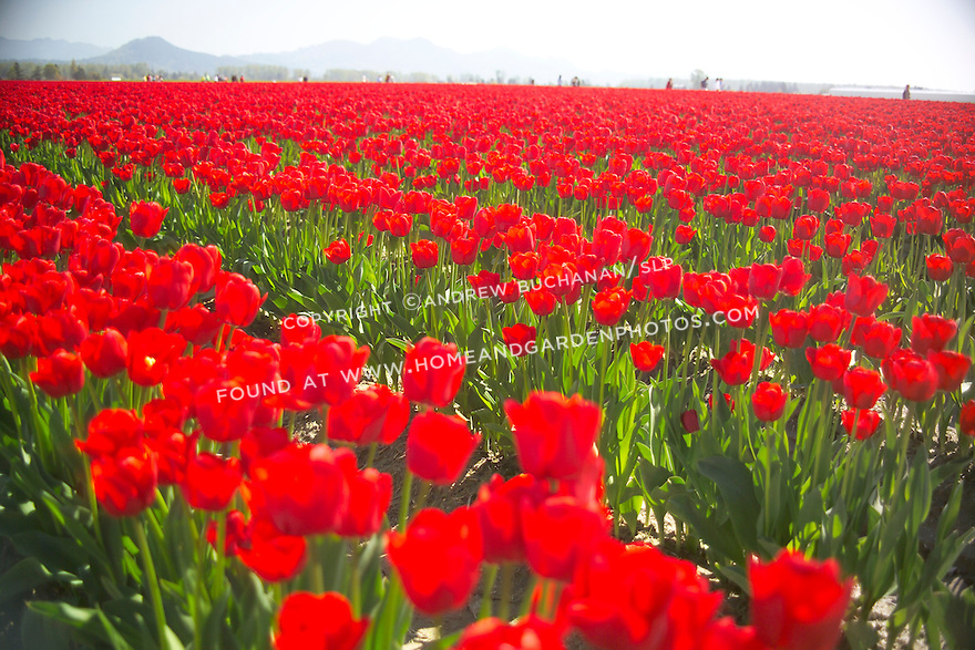 closeup of a vast, solid field of rows of backlit bright red tulips, backed by hazy mountains in the distance and distant crowds of wandering people, glowing vibrant red in the sunshine at a commercial field flower farm in Mt. Vernon, WA in the Skagit Valley of Washington state
