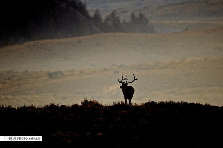 Bull elk silhouette at sunrise