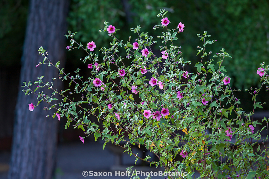 Anisodontea x hypomandarum, Cape Mallow pink flowering shrub, Marin Art and Garden Center