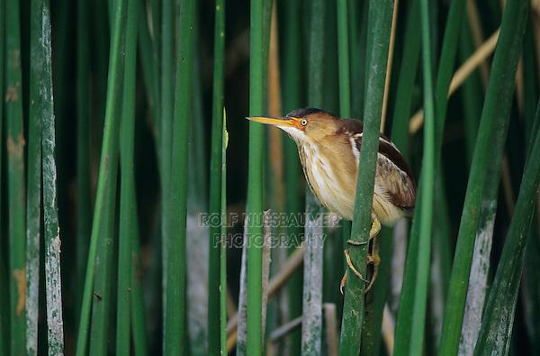 Least Bittern, Ixobrychus exilis, male, Welder Wildlife Refuge, Sinton, Texas, USA, May 2005